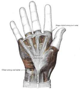 palmar fascia